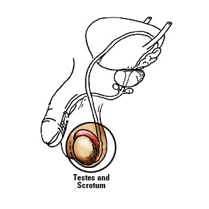 Male body diagram of testes and scrotum