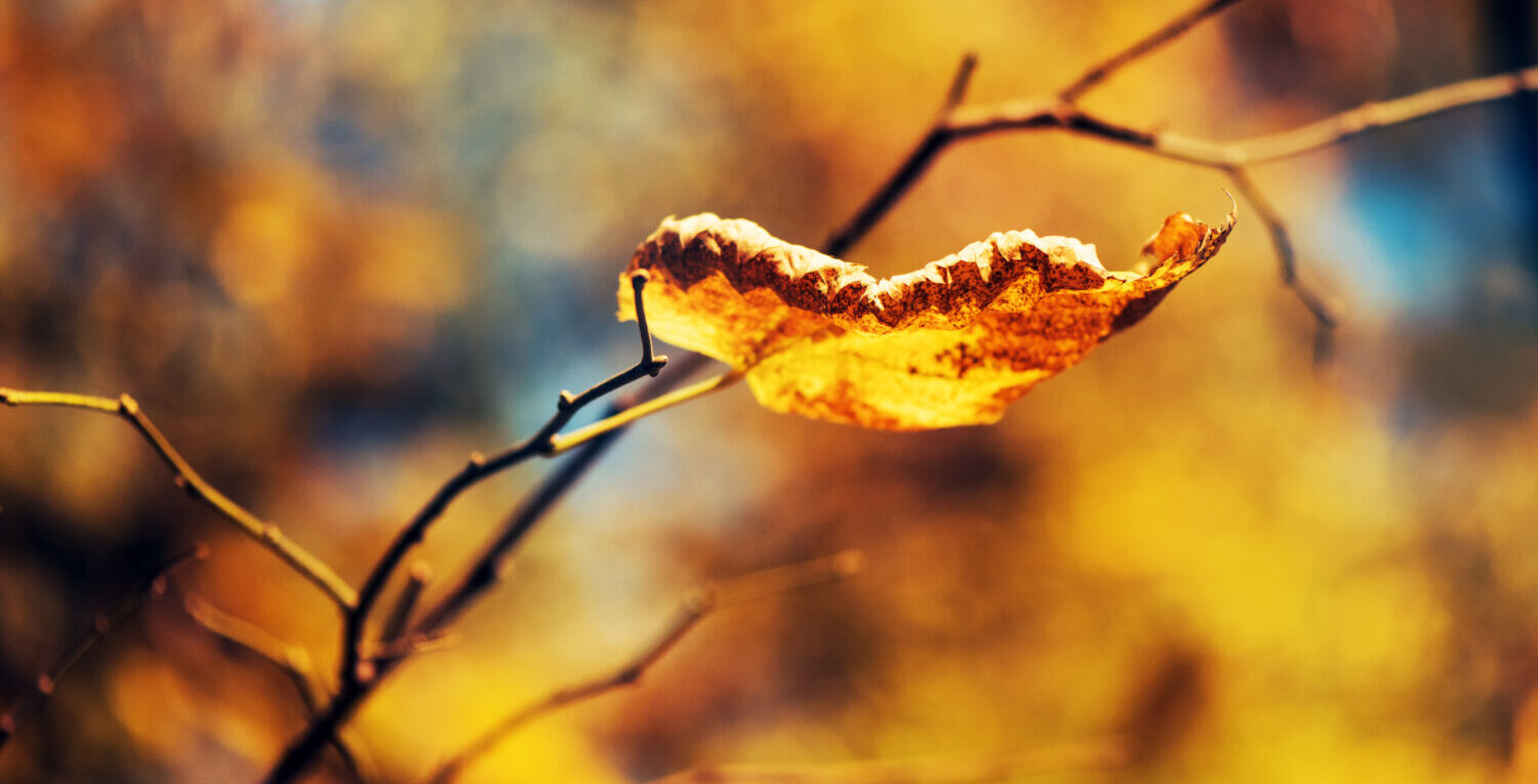 Dry leaf on the branch, fall season, vivid colours of autumn scenery.